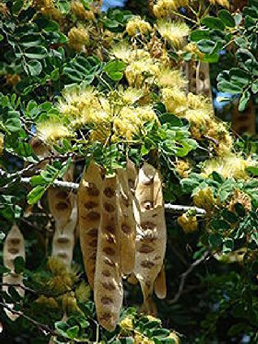 Monkeypod Rain Tree. Samanea Saman, big yellow flower brush !! very rare exotic plant, 10 graines