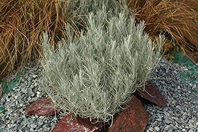 Currykraut (Helichrysum italicum)