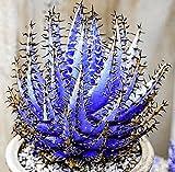 AIMADO 100 Stücke Aloe Samen Gartenkräuter Pflanzen Haworthia Samen Gemüse Vera Obst Essbare Schönheit Kosmetische Bonsai Samen