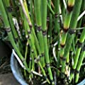 lichtnelke - Riesen-Schachtelhalm (Equisetum hyemale ROBUSTUM) Tb9 von Lichtnelke Pflanzenversand auf Du und dein Garten