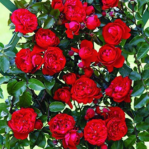 Florentina®, rosa rampicante in vaso di rose barni®, pianta di rosa rampicante rifiorente a grandi fiori doppi, h. raggiunta fino a 5 metri, pianta di rosa in vaso resistente alle malattie, cod. 16053