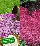 BALDUR-Garten Winterharte Bodendecker-Kollektion rosa und rot 6 Pflanzen Phlox und Thymian, Polsterphlox und Polsterthymian winterhart