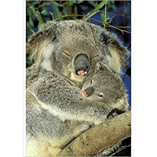Media Storehouse A1 Poster of Koala - Female and young in tree (1455799)