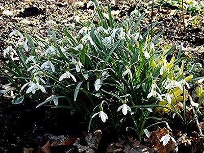 """Galanthus """" Elwesii """" - Schneeglöckchen 10 Zw. von GHA-Thulke bei Du und dein Garten"""