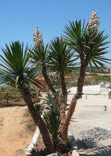 TROPICA - Riesenpalmlilie (Yucca elephantipes syn. gigantea) - 10 Samen