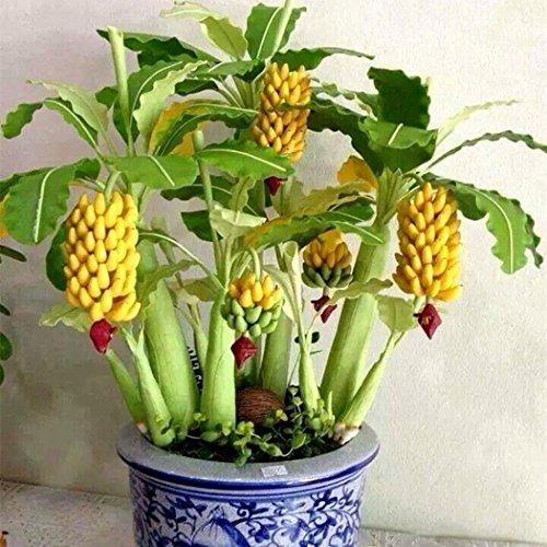 Ncient 10/20/30/50/100 Semillas de Arbol de Plátano Bananas Enano Semillas Frutas Flores...