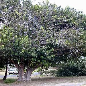 Ficus Religiosa Seeds Garden Outdoors