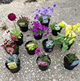 Pack of 12 Mixed Rockery Plants in 9cm Pots - Alpine Perennial Collection