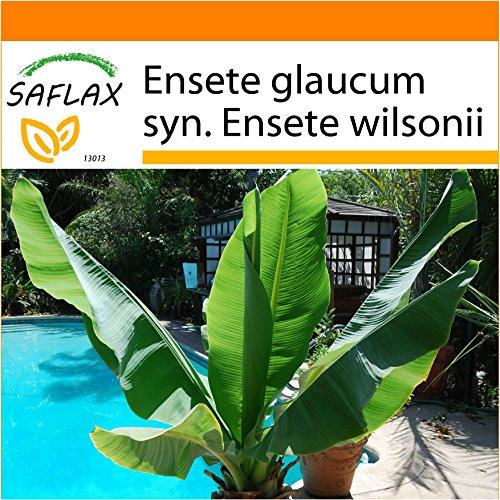 SAFLAX - Garden in the Bag - Große Schneebanane - 10 Samen - Ensete glaucum syn. Ensete wilsonii