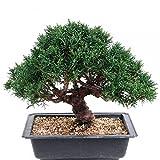 Bonsai - Juniperus chinensis, Chinesischer Wacholder, Shohin 188/02