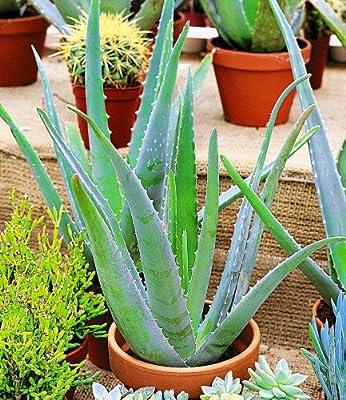 BALDUR-Garten Echte Aloe Vera Pflanze, 1 Pflanze von Baldur-Garten - Du und dein Garten