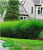 BALDUR-Garten Chinaschilf 'Eulalia' Chinagras, 3 Pflanzen Miscanthus sinensis 'Gracillimus' Ziergräser winterhart
