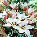 Clusiana Tulpe Lady Jane von Meingartenshop bei Du und dein Garten