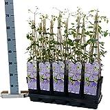 Blumen-Senf Clematis Mrs Cholmondeley/60-70 cm/Topf Ø 15 cm/wunderschöne Clematis Waldrebe Kletterpflanze