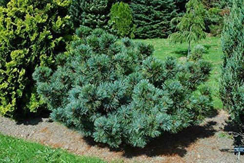 PLAT FIRM GERMINATIONSAMEN: 120 Samen: Japanische Stein Kiefer, Pinus pumila, Baum Samen (Hardy Evergreen, Bonsai)