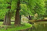 Urweltmammutbaum Metasequoia glyptostroboides 200 Samen