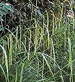 Riesensegge - Carex pendula von Baumschule - Du und dein Garten