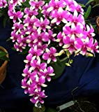 #6: M-Tech Gardens Rare Dendrobium Orchid