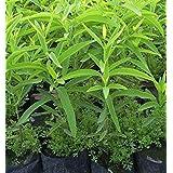 AgroMax Safed Chandan White Sandalwood Indian Sandalwood Sandal Tree Santalum Album Living Plant in Poly Bag