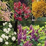 Dominik Blumen und Pflanzen, Blüten-Hecke aus 5 winterhartenZiersträuchern, 30 bis 50 cm hoch: Weigelia