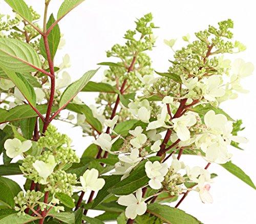 Dehner Rispen-Hortensie, Blüten mit Farbwechsel, ca. 40-60 cm, Zierstrauch  (Hortensie Größe In Voller)