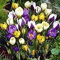 Frühblühende Krokus Mischung - 100 blumenzwiebeln von Meingartenshop - Du und dein Garten