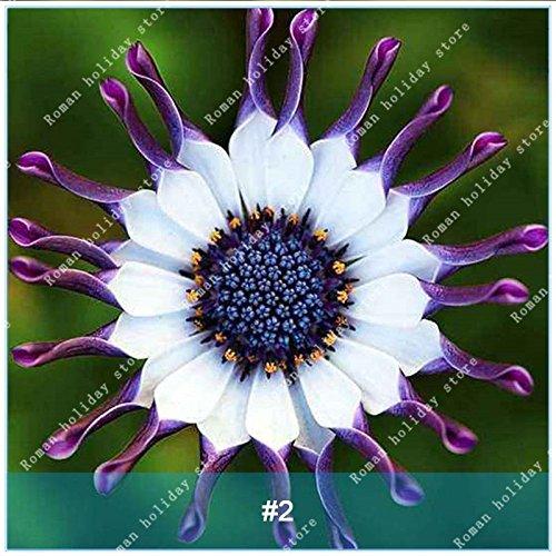 Galleria fotografica ZLKING 100 Pz Osteospermum Bonsai Seeds alto tasso di germinazione del Capo Daisy facile da coltivare South African Daisy Seed Flower Plant 2