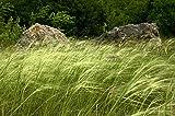 Federgras Saatgut Portion ca 50 Samen **für Blumensträusse und Vasen**