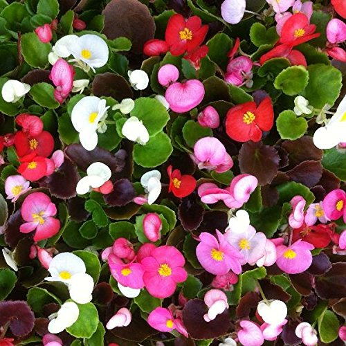 Begonia Organdy Mixed | Tray of 40 Plug Plants