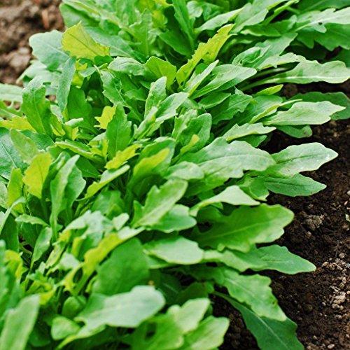 1/2 Unze Arugula Roquette semences | Easy Grow MicroGreen salade