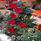Dipladénia rouge - 1 plante