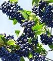 BALDUR-Garten Vitaminbeere Apfelbeere 'Aronia Viking', 1 Pflanze Aronia melanocarpa von Baldur-Garten auf Du und dein Garten