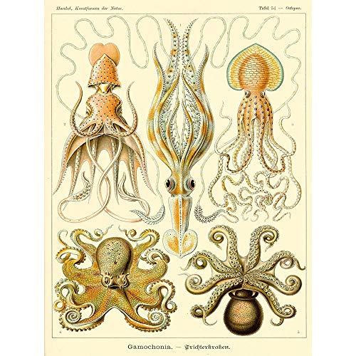 Wee Blue Coo LTD Nature Ernst Haeckel Octopus Biology Germany Vintage Art Print Poster Wall Decor Kunstdruck Poster Wand-Dekor-12X16 Zoll