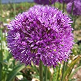 10 x Allium Hollandicum Aflatunense - Ail d'Ornement - Bulbe de Printemps Vivace