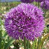 """10x Allium """"Aflatunense"""" Mehrjähriger Zierlauch mit Lila (Flieder)Blüte"""