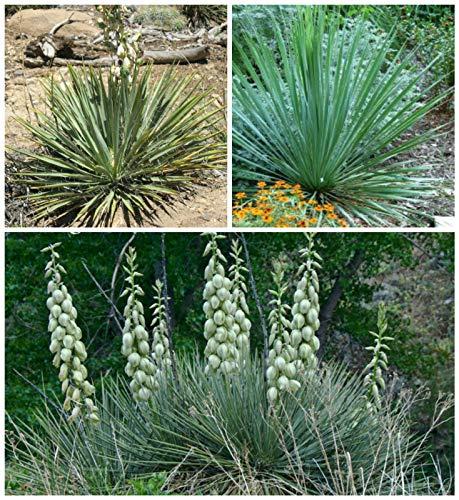 Portal Cool 50 Samen Yucca Glauca = Yucca angustifolia Sukkulenten, Succulents Seed