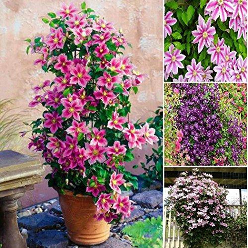 kisshes clematis 20/50 pezzi - pianta rampicante perenne - pianta ornamentale per il giardino
