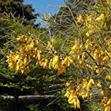 Plant World Seeds - Sophora Microphylla Seeds