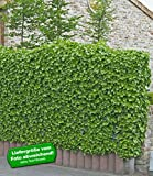 BALDUR-Garten Winterharte Efeu Pflanze 'Baltica', 3 Pflanzen