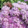 lichtnelke - Pracht-Fetthenne (Sedum spectabile) BRILLIANT von Lichtnelke Pflanzenversand bei Du und dein Garten