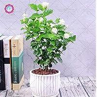 100 Stücke Seltene Lila Bambus Samen Blumensamen Hausgarten Pflanzensamen Einfac