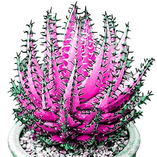FOReverweihuajz 100 Stk seltene neue bunte Aloe Vera Samen saftige Kräuter Bonsai/Balkon/Garden Pflanzen Dekor-Sky Blue/organge/Purple/Rose Red/yelllow -