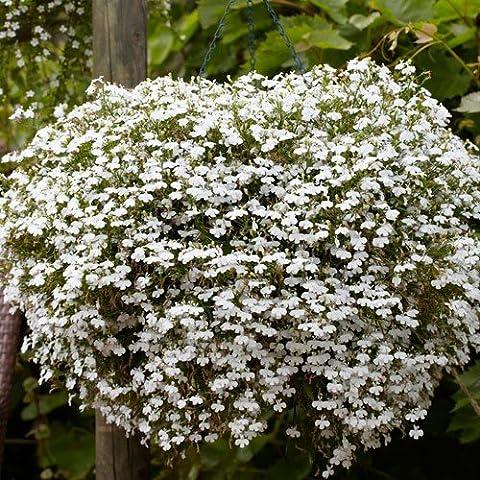 Hängendes Männertreu Weiß 500 Samen (Lobelia Cascade