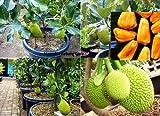#8: Vamsha Nature Care Live Jack Fruit Tree Rare - Tropical 1 Healthy Plant - ' Dwarf Jackfruit ' Early Fruit Bearing Variety Bud Plant