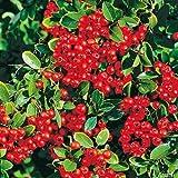 Feuerdorn Red Column Pyracantha Rot – Immergrüne Pflanze als Sichtschutz-Hecke - Heckenpflanze / Kletterpflanze von Garten Schlüter