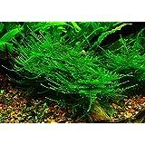 1 paquete Taiwan Moss - Taxiphyllum Alternans - Plantas de acuario (4x6 cm)