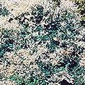 Schling-Knöterich Polygonum 2 LCo. von VDG-KL-Baumschule - Du und dein Garten