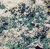 Schling-Knöterich Polygonum 2 LCo.