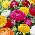 Ranunkeln in vielen Formen und Farben von Garten Schlüter - Du und dein Garten