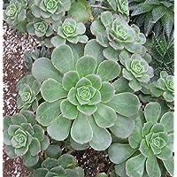 Aeonium haworthii - 20 semi